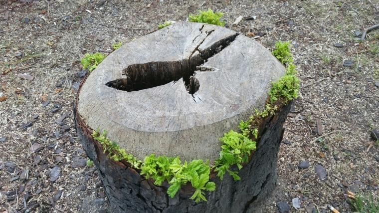 J'ai pris la photo de cet arbre cette semaine sans intention. Par un drôle de hasard, il m'a permis de comprendre la signification du bâton d'Aaron qui bourgeonne (voir à la fin de la Derasha du Rav Harboun + DL